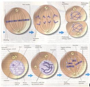 Pembelahan sel amitosis mitosis dan meiosis proses dan pembelahan mitosis termasuk kedalam pembelahan sel secara tidak langsung karena pembelahan inti nukleus didahului oleh pembentukan benang benang kumparan ccuart Images