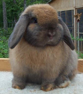 Fluffy Rabbit