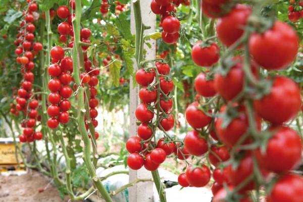 Come coltivare il pomodoro ciliegino nell 39 orto o sul for Coltivare sul balcone