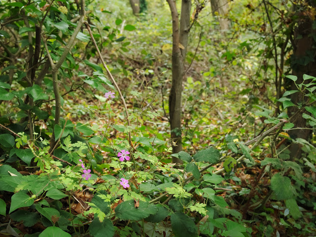Herb Robert in woodland