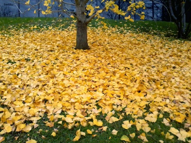 ginkgo leaves by betitu