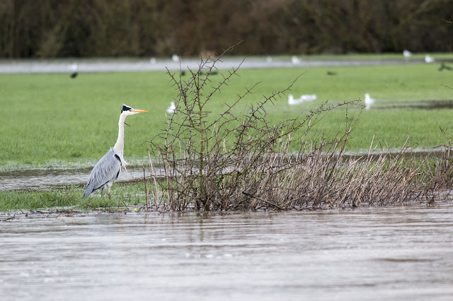 Grey Heron fishing the water or field?