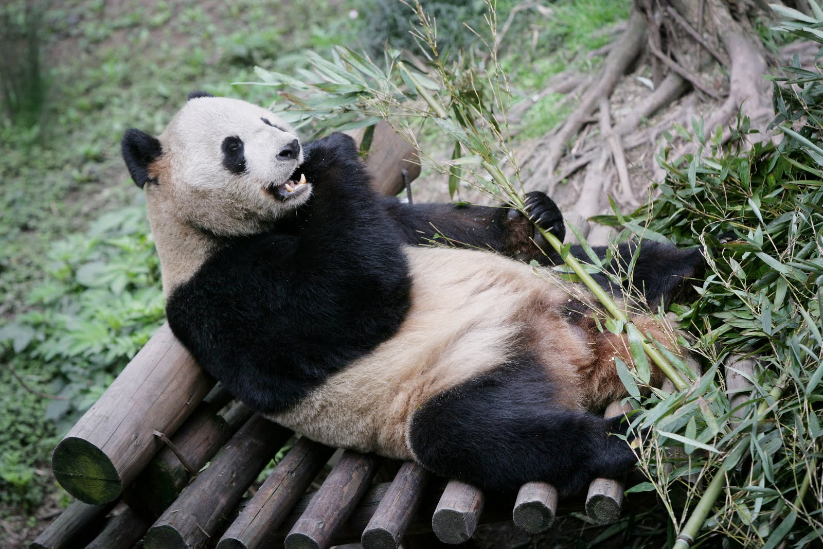 Wallpaper Collections Giant Panda Wallpapers