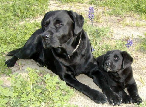 Labrador Retrievers Wallpapers Animals Library