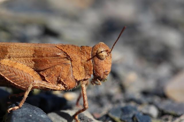 Tierfotos - Heuschrecken - Feldheuschrecke - Blauflügelige Ödlandschrecke