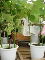 Cara Menanam Anggur Di Pot agar Cepat Berbuah Lebat