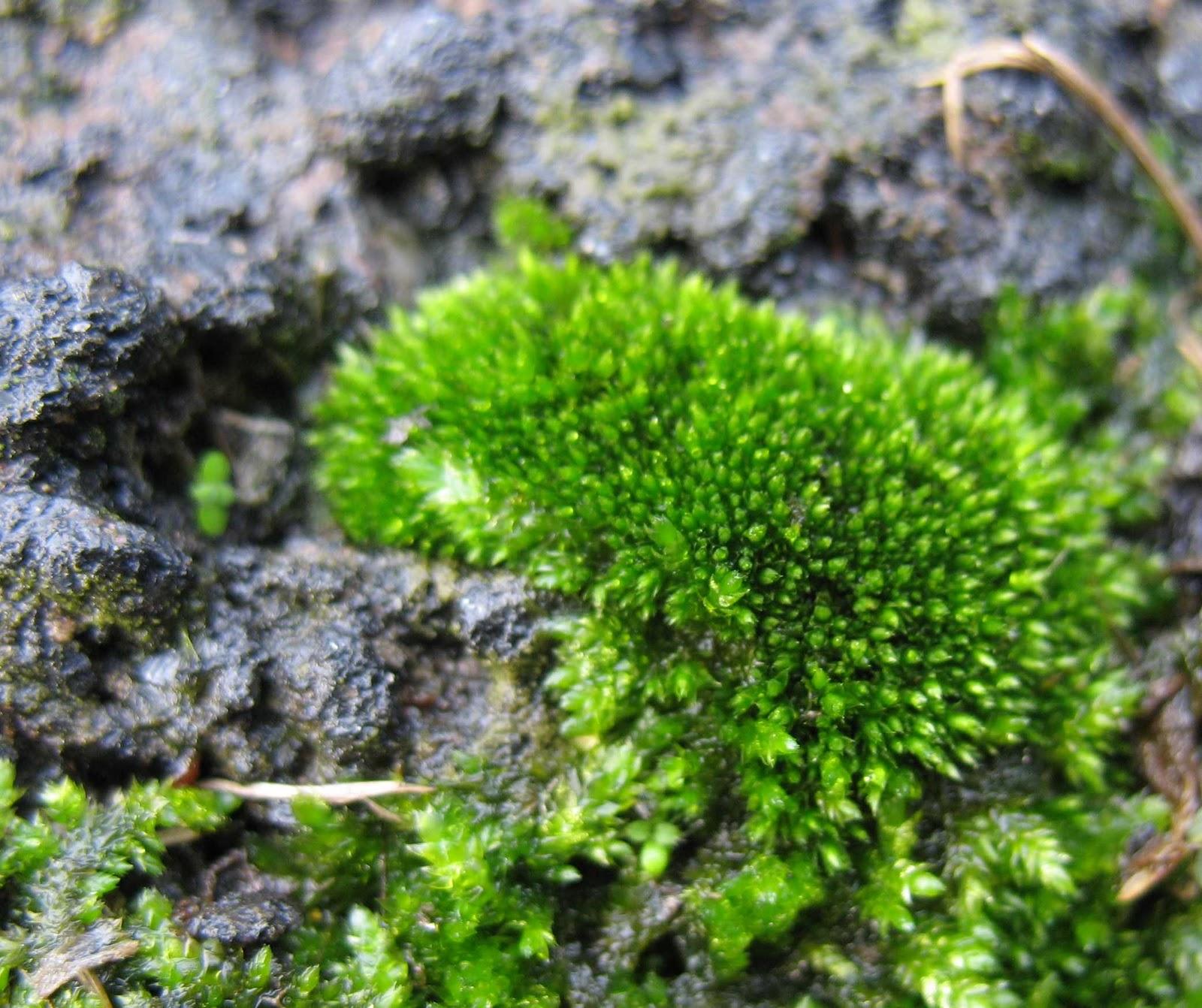 Using Georgia Native Plants: Marvelous Moss