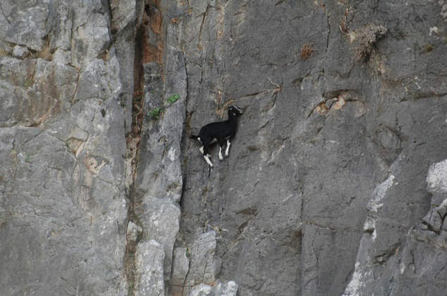 No Fear of Heights! Rock-Climbing Goats