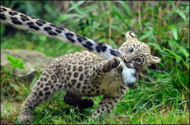 funny animal pictures, baby leopard bites mom's tail