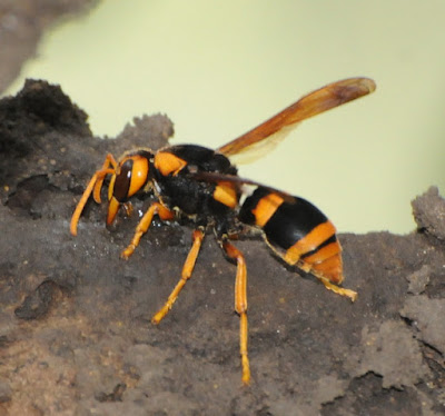 Large Mud-nest Wasp (Abispa ephippium)