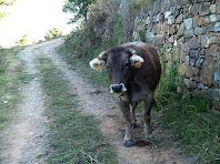 Vaques en el Camí de Postius