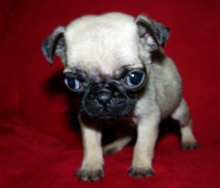 Black Chug Dog
