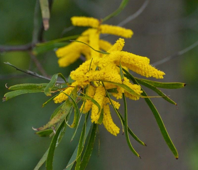Raspberry Jam (Acacia acuminata)