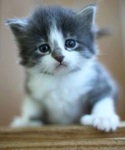 Gambar Buka Gambar Gambar Kucing Parsi Hitam Putih Buka