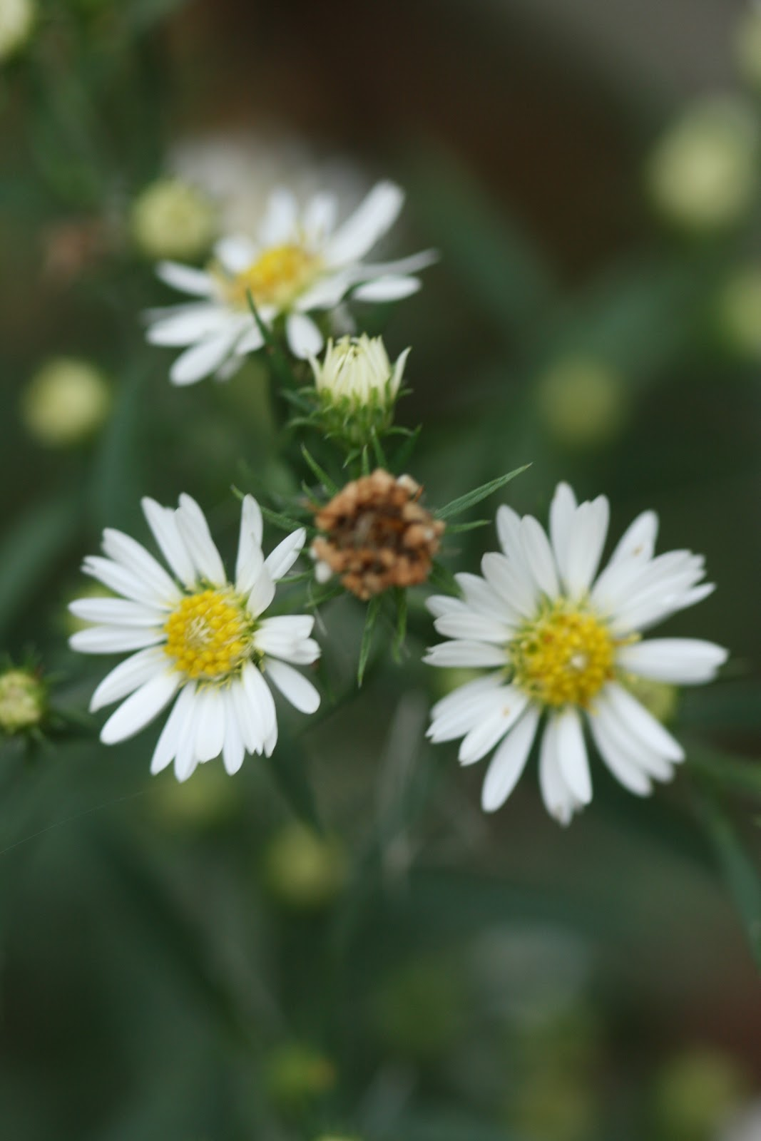 Native Florida Wildflowers White Oldfield Frost Aster