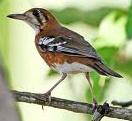 Singing Bird Collection Zoothera Peronii Punglor Cendana