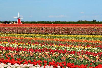 hoa tulip 13