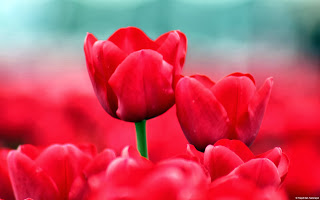 free hd images of red tulips for laptop