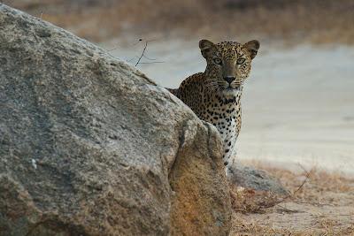 Leopard at Wel Mal Kema - Yala, Sri Lanka