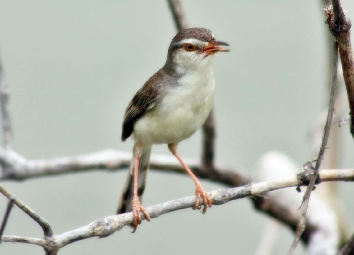 ... ( ocehankenari ) -Burung ini biasa dimaksud juga burung ciblek