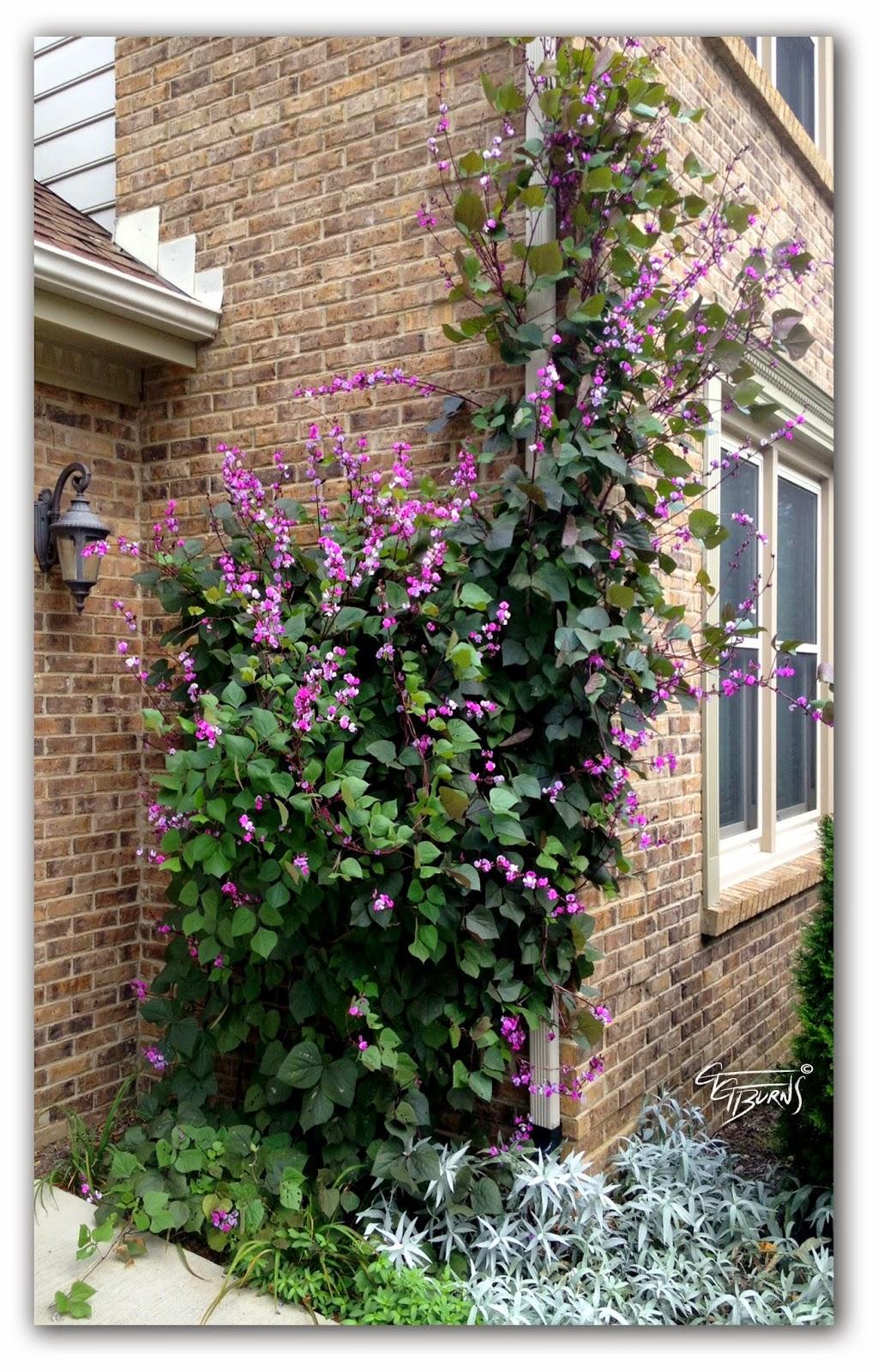 Gg S Functional Art Gg S Sweet Pea Vine Lathyrus Latifolius