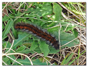 We saw three of these beautiful Fox Moth caterpillars at Minsmere, .