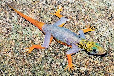CICAK spesies cnemaspis psychedelica yang ditemui di rantau Mekong, Thailand.