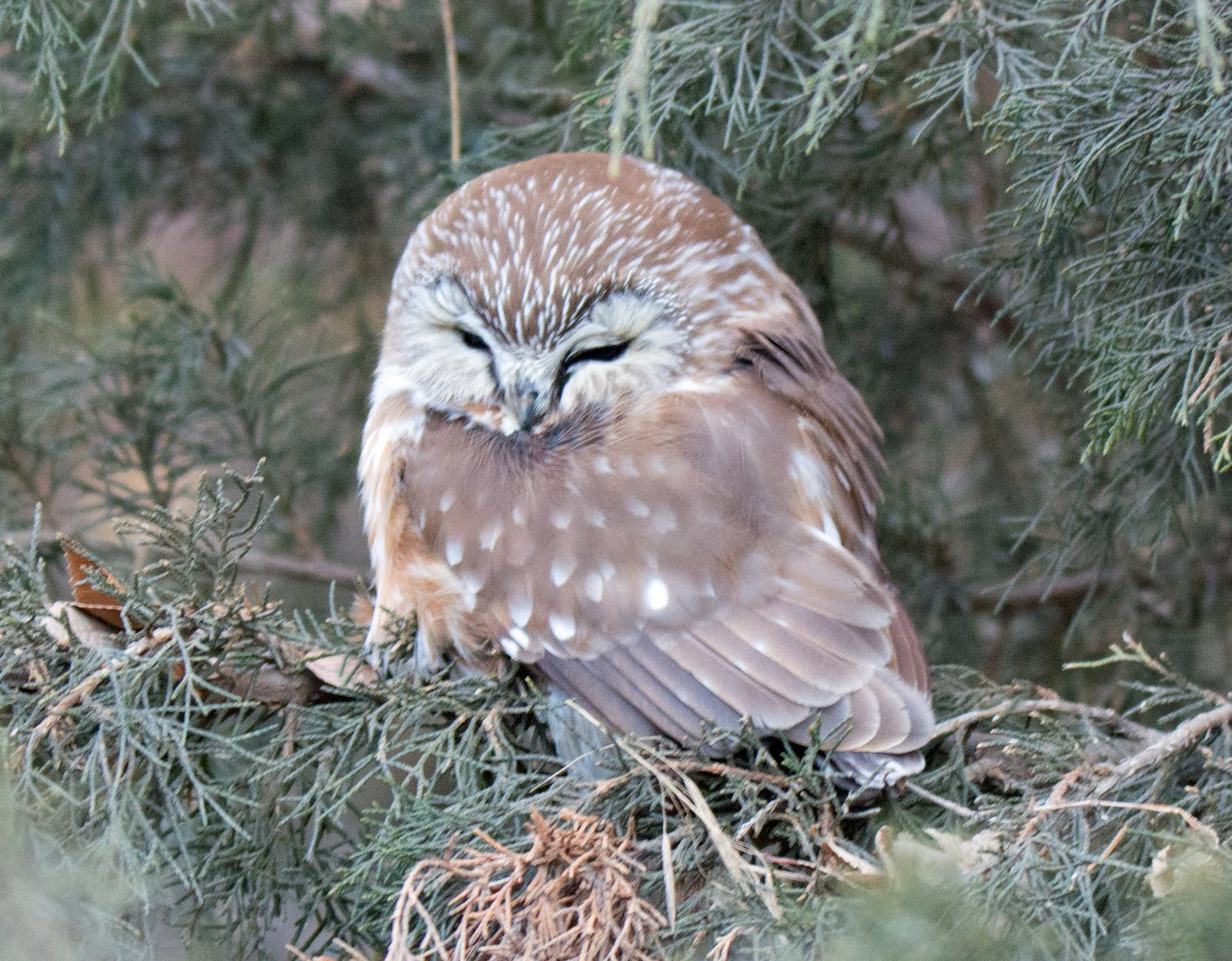 My Lifer Northern saw-whet owl