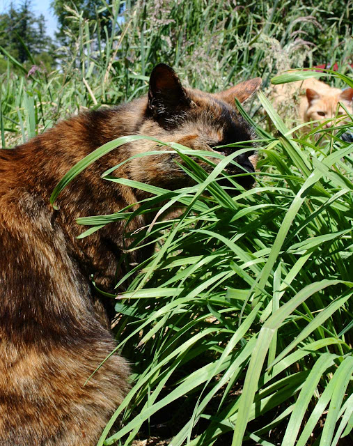 Tortie cat Georgia eats grass, Orange cat Coppertop watches
