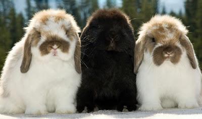 3 ekor kelinci holland lop