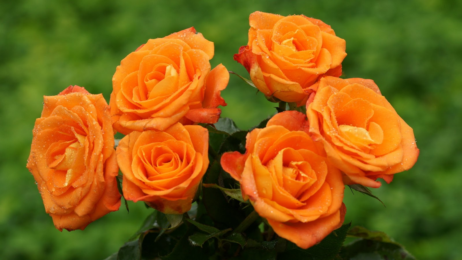 LAP TOP VALLEY: Orange Roses - Wallpaper