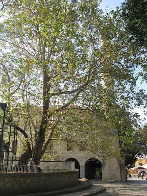 Hippocrates Plane Tree Kos