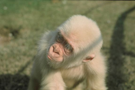 Welcome To Updating 9ja: Snowflake the Albino Gorilla Was ...