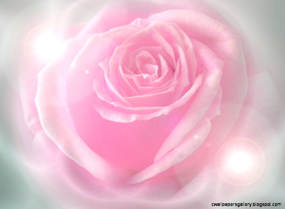 Pink Rose Background Wallpaper   WallpaperSafari