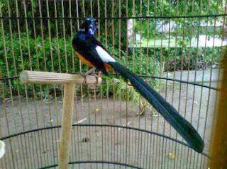 Tentang Burung Murai Batu Medan Suara Gacor