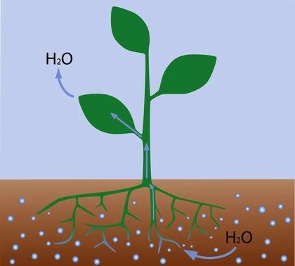 jalur penyerapan air tumbuhan