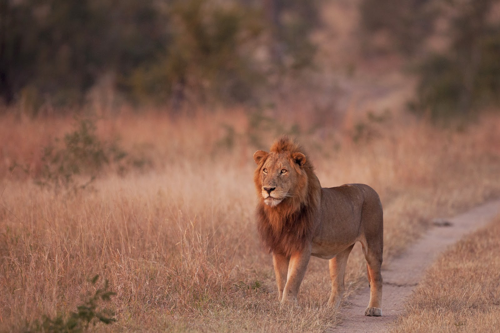 Why the lion is the king of the beasts Description of the lion, habitat and way of life 55