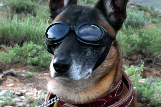 German Shepard wearing dog sunglasses (Doggles)