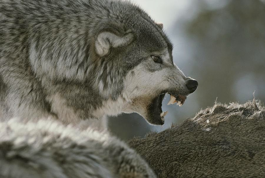 White Wolf : 10 pictures of growling wolves that will ...