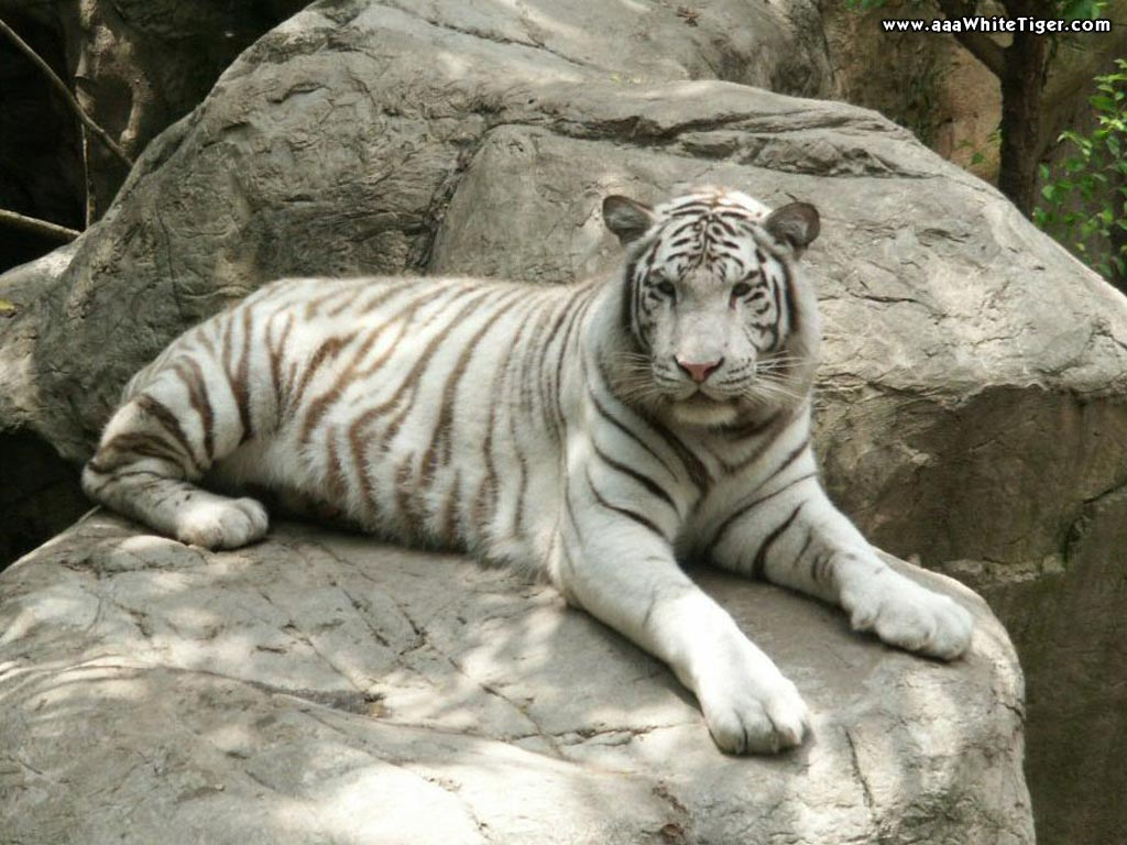 tiger wallpapers white tiger wallpapers