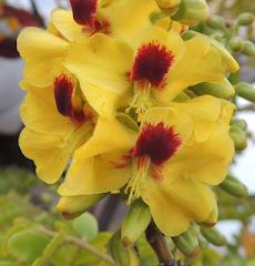 Caesalpinoideae