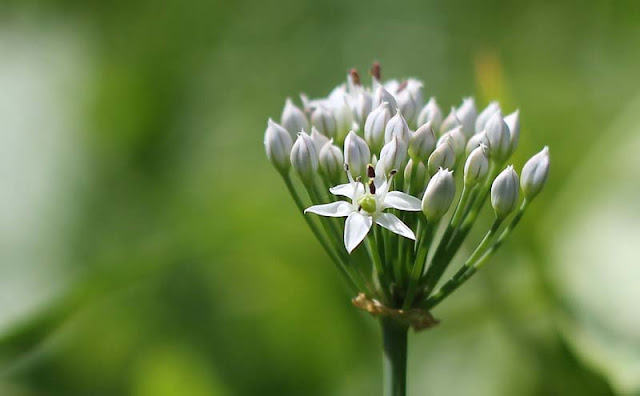 Garlic Chives Flowers Pictures