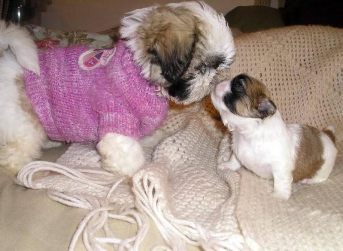 Cute puppy dogs shih tzu puppies