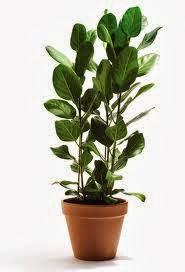 Plantas de exterior de pocos cuidados - Ficus elastica cuidados ...