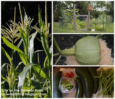 Gardening - sweet corn, zucchini, pumpkin