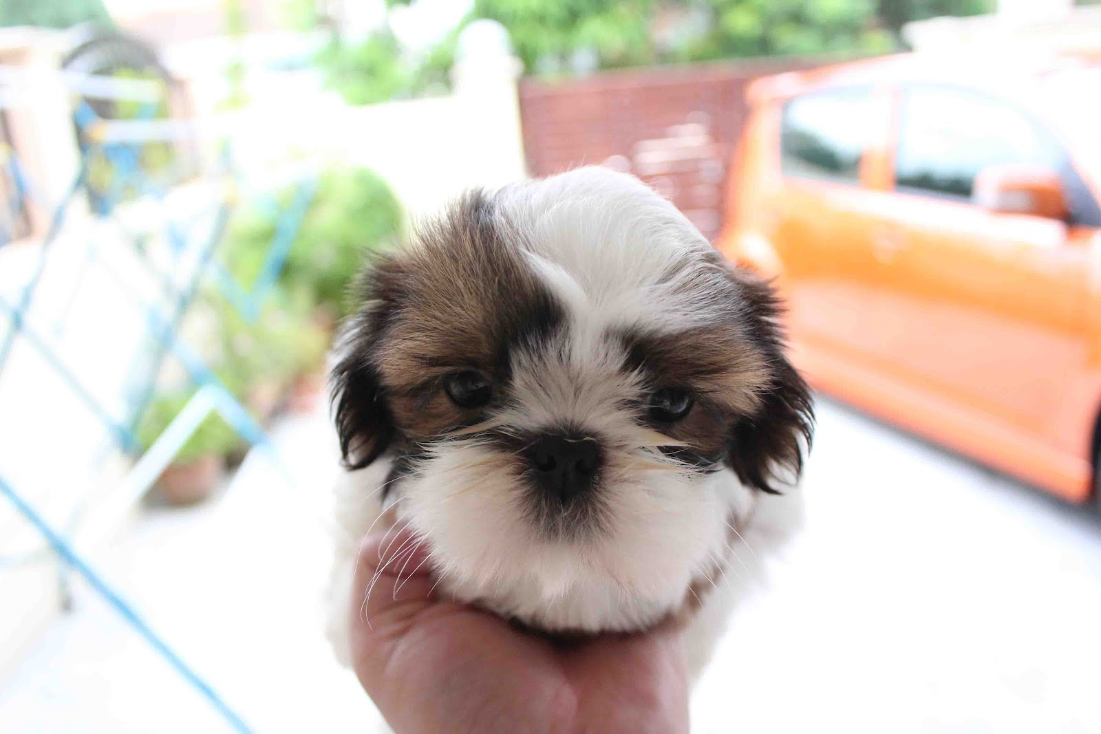 Lovelypuppy Tri Color Shih Tzu At Rm550 Only