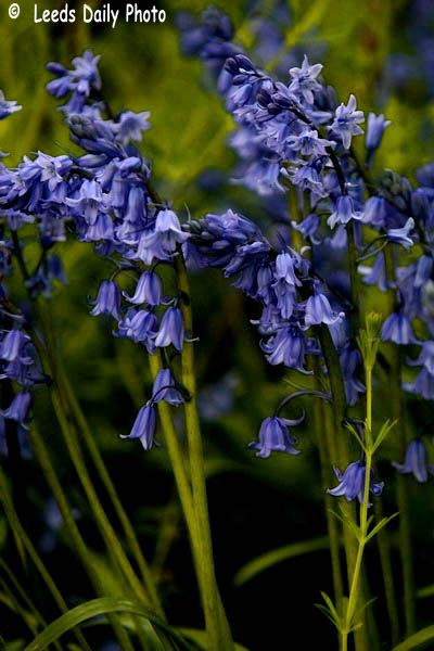 Bluebell Flowers Leeds