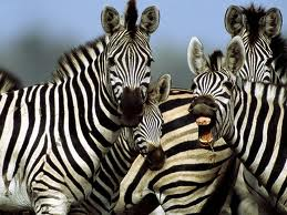 ABC Poem Zebra Yelling