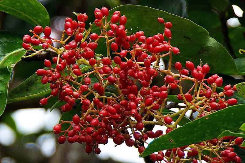 Red Berries,Viburnum odoratissimum