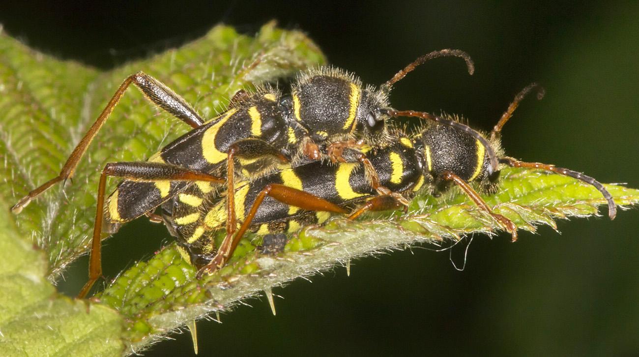 Wasp Beetles, Clytus arietis, on Bramble, Rubus fruticosus agg.  West Wickham Common, 30 April 2014.